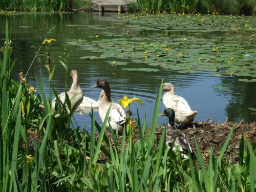 Ducks enjoying the sunshine at Eatcok Lodge
